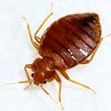 bedbug1