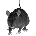 rodent_1